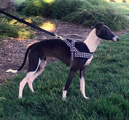 16d9f24a53e4787ca11c42db534af9d8 norway harness in the black white houndstooth for dog, sighthounds