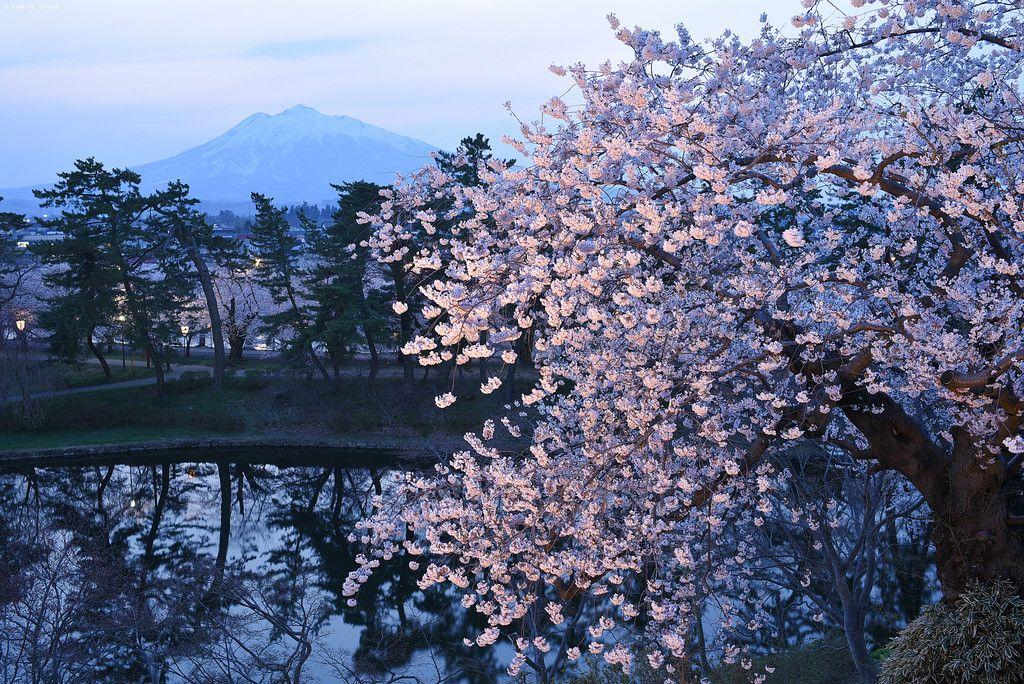 夜桜の弘前城より岩木山  Mt Iwaki And Cherry Blossoms From Hirosaki Castle by Iyhon Chiu