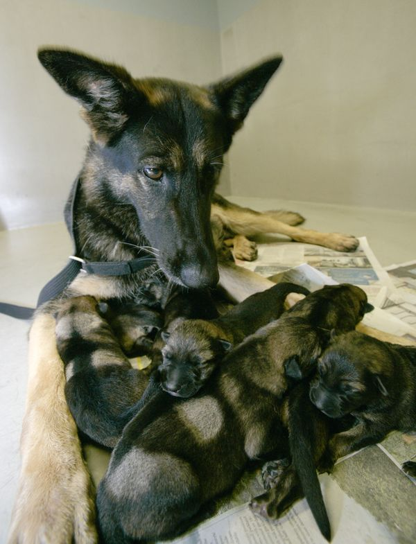 Mwd Breeding Program Is Located At Lackland Airforce Base San