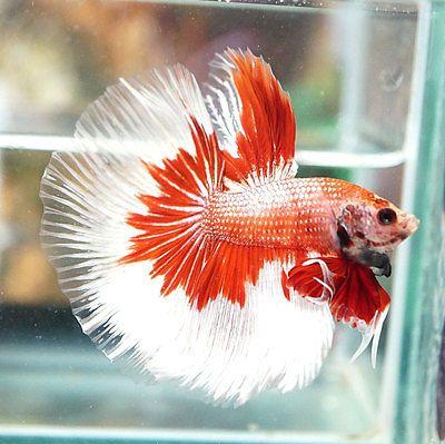 Live Betta Fish Male Fancy White Copper Red Halfmoon HM #S14
