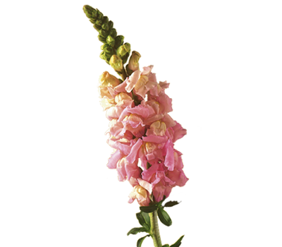 Snapdragon (Antirrhinum) Flower Meaning & Symbolism
