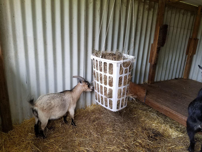 Cindy Hanrahan Goat Hay Basket Laundry Hamper Goat Feeder Goat Barn Goat Playground
