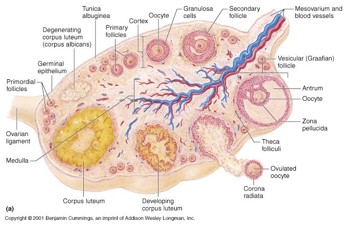 Ovary Histology: Follicles (Primordial, Primary, Secondary, Graafian ...