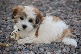 Pure Breed Havanese Previous Puppies Chanhassen Mn Cute