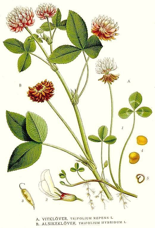 Botanical Postcard Pretty Blue Trifolium Clover Vintage Repro Print Trefoil