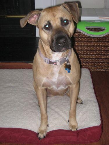 Adopt Mason On Black Mouth Cur Dog Adoption Dogs