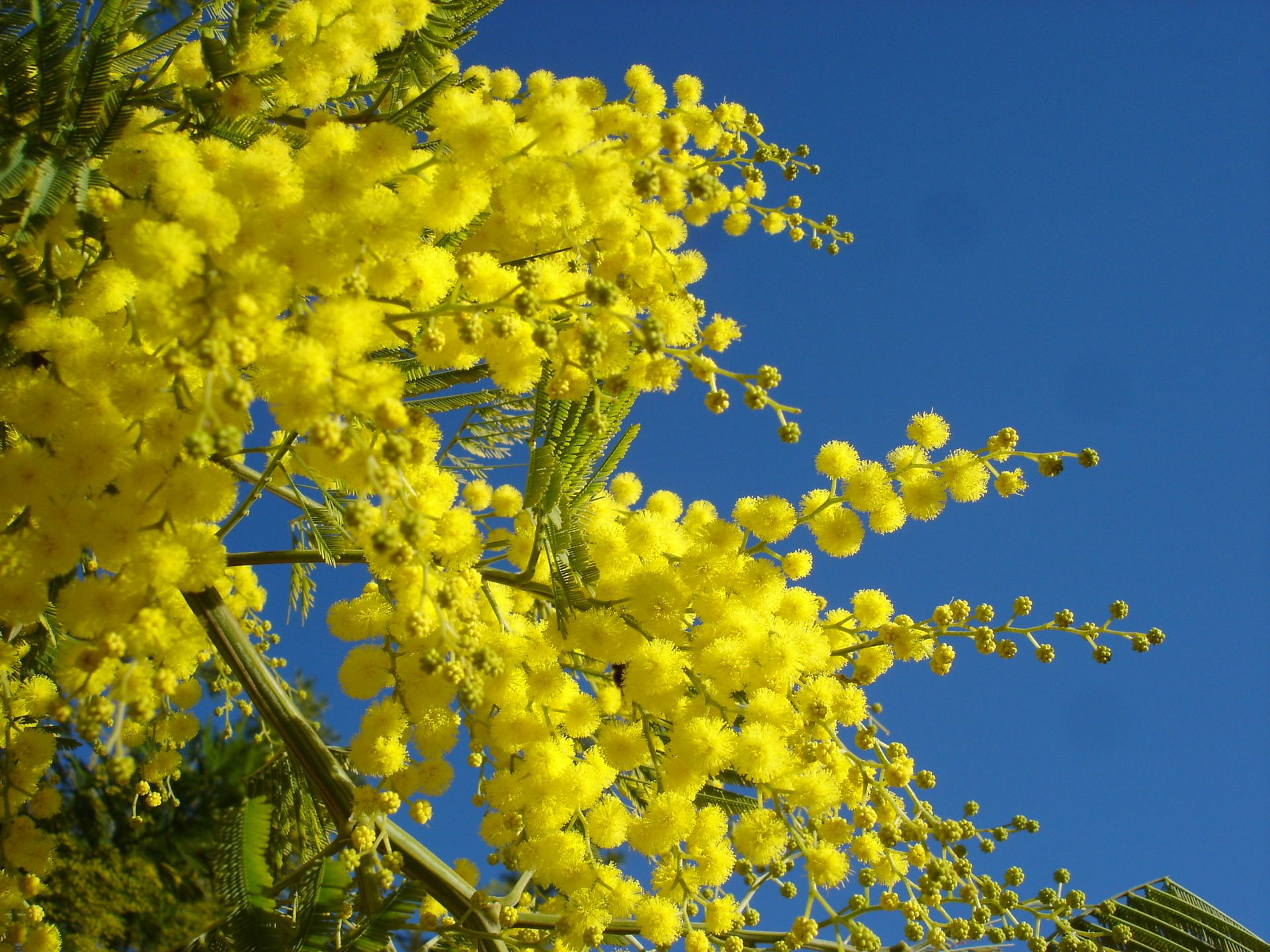 Yellow Mimosa Is The Symbol Of Iwd In Italy Cottage Garden Plants Cottage Garden Acacia Tree