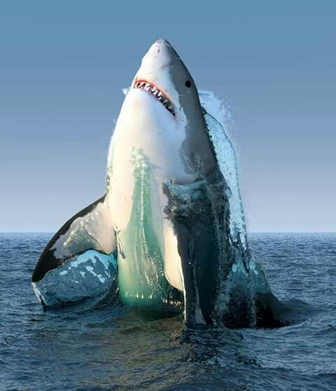 Great White Shark In Gansbaai South Africa Ocean
