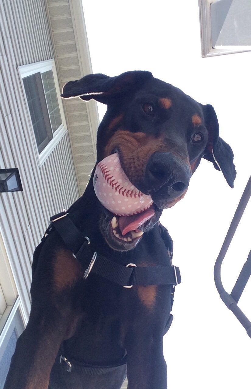 """""""Got my ball! But first let me take a selfie"""" Dobie"""