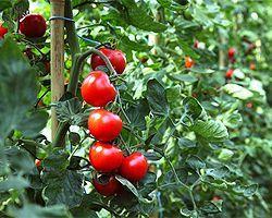 Tomaten im Freiland anbauen #tomatenpflanzen