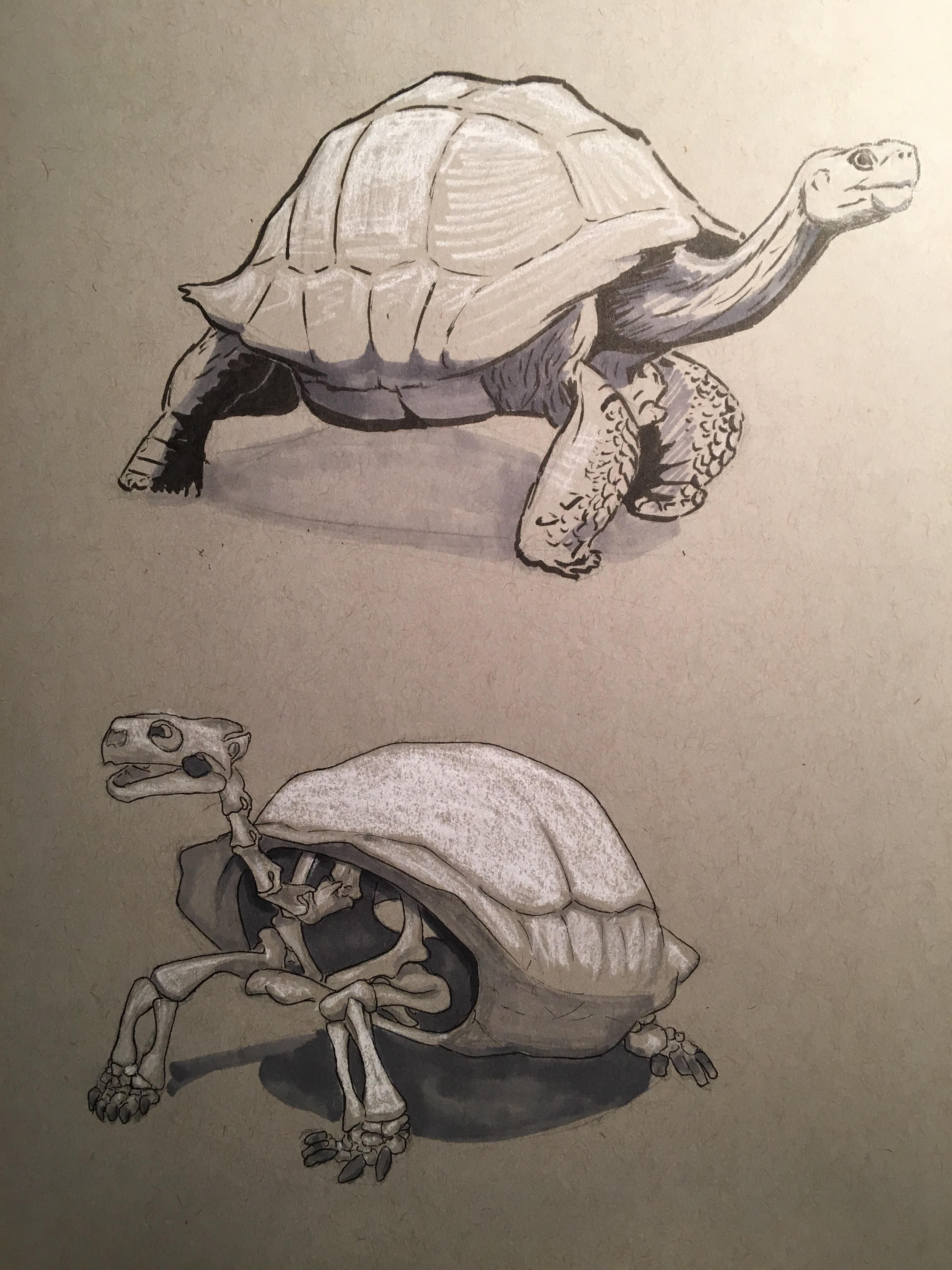 1 hour Galapagos Tortoise study. Both Living and Skeleton. Pen ...