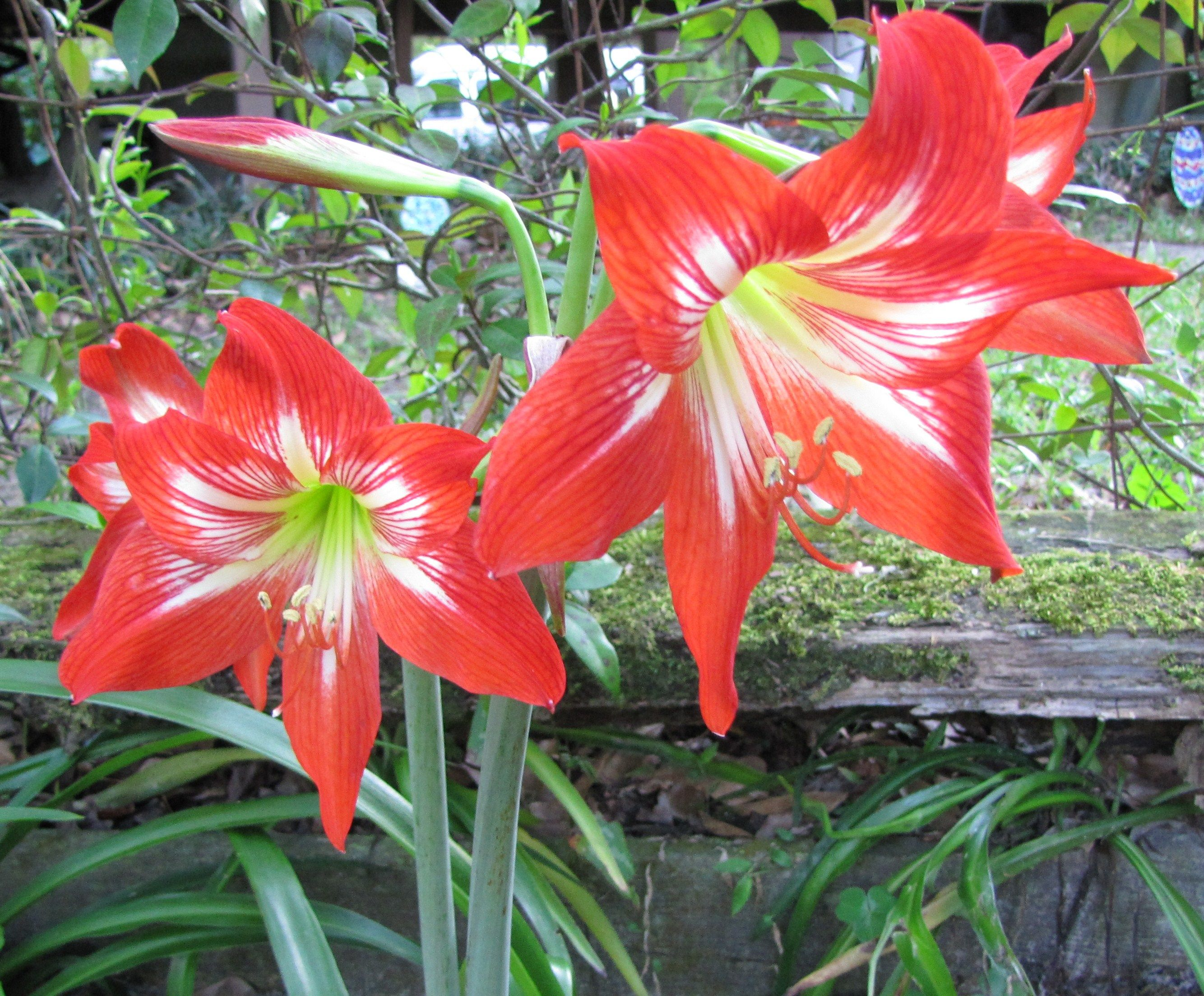 Lillys Pretty Flowers Flower Garden Asiatic Lilies