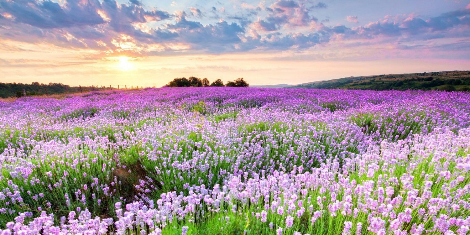 Peaceful Pictures Of Heaven And Nature Peaceful Nature Flowers Wallpapers Weneedfun Field Wallpaper Purple Plants Lavender Fields