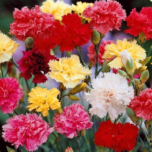 Variedad de claveles flores ornamentales pinterest for Plantas ornamentales clavel