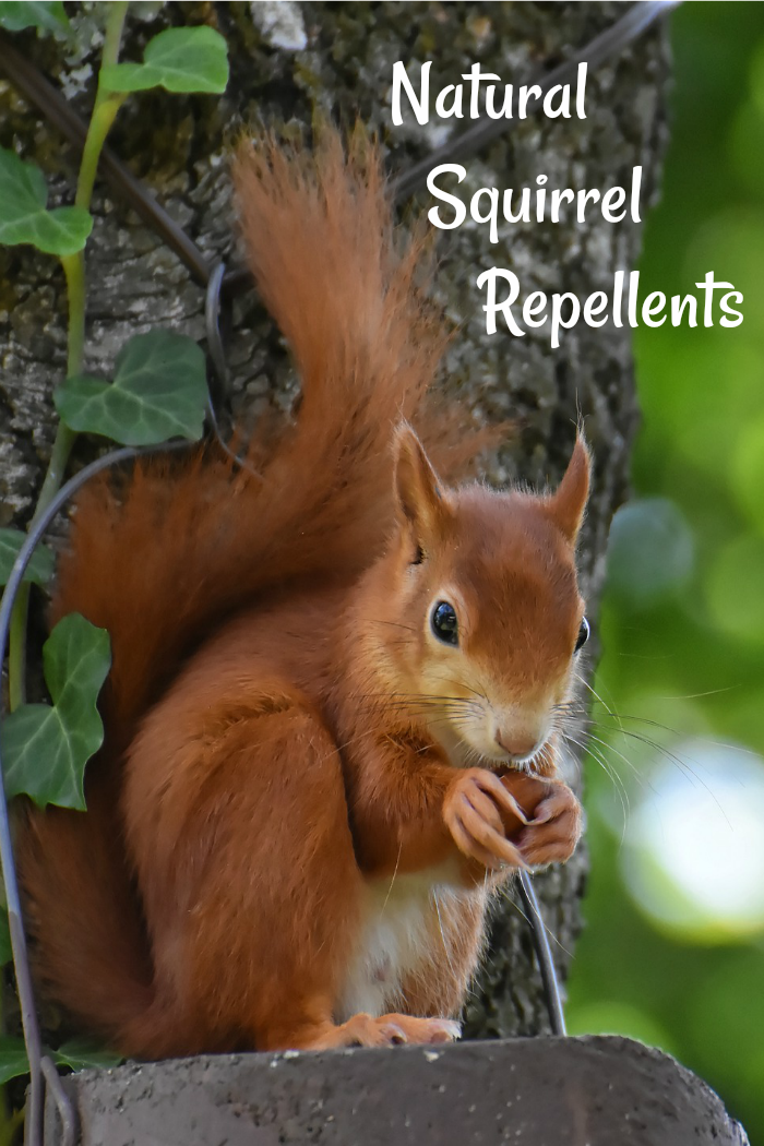 Natural Squirrel Repellent Ideas Keep Squirrels Out Of The Yard In 2020 Natural Repellent Squirrel Repellant Squirrel Proof Garden