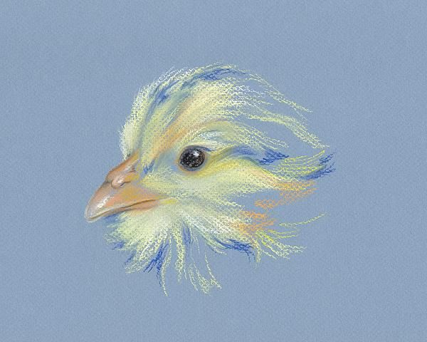 This is my latest pastel art completed on 1-10-2013 Chick - Plymouth Barred Rock Pastel