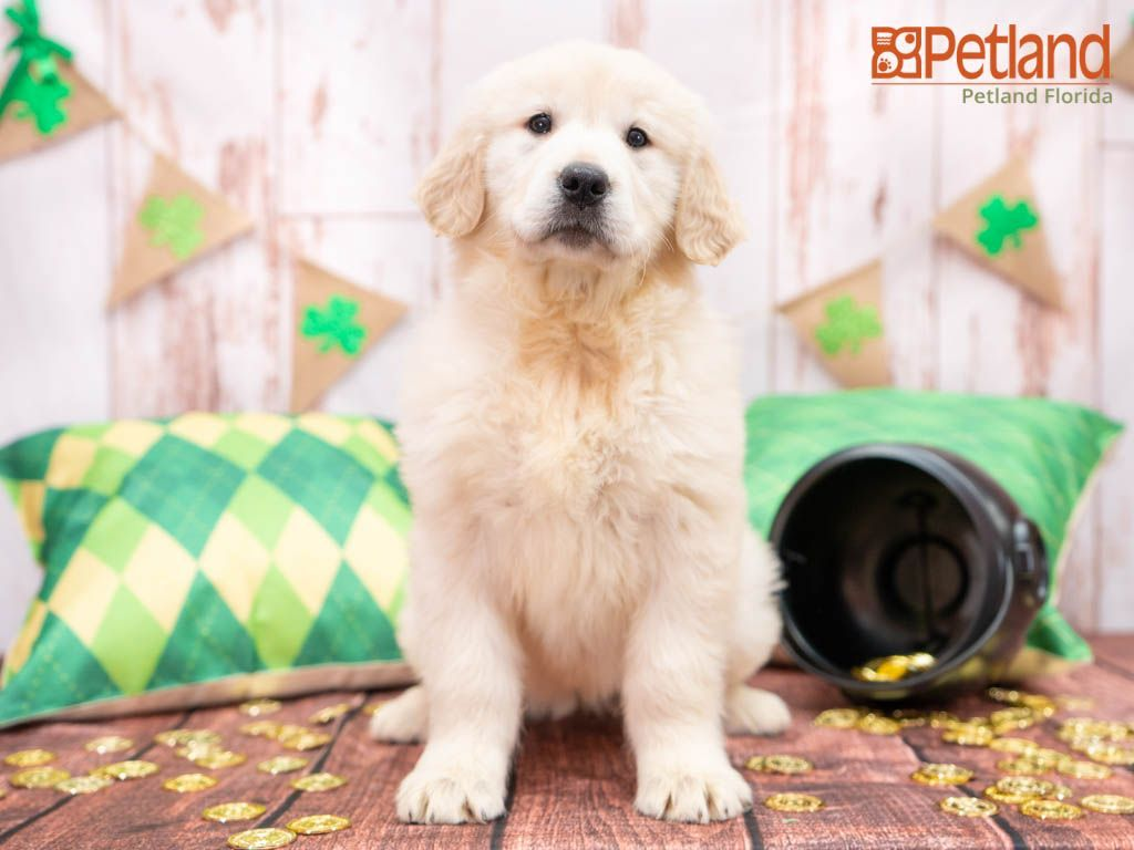 Puppies For Sale In 2020 Puppy Friends Puppies For Sale Puppies