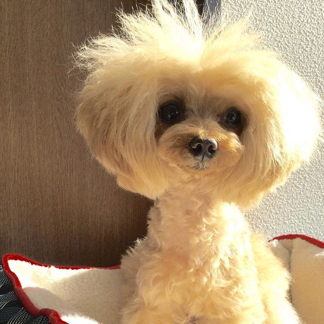 #toypoodle #トイプードル #teacuppoodle #ティーカッププードル #dogsofinstagram #dogstagram #dog #dogs