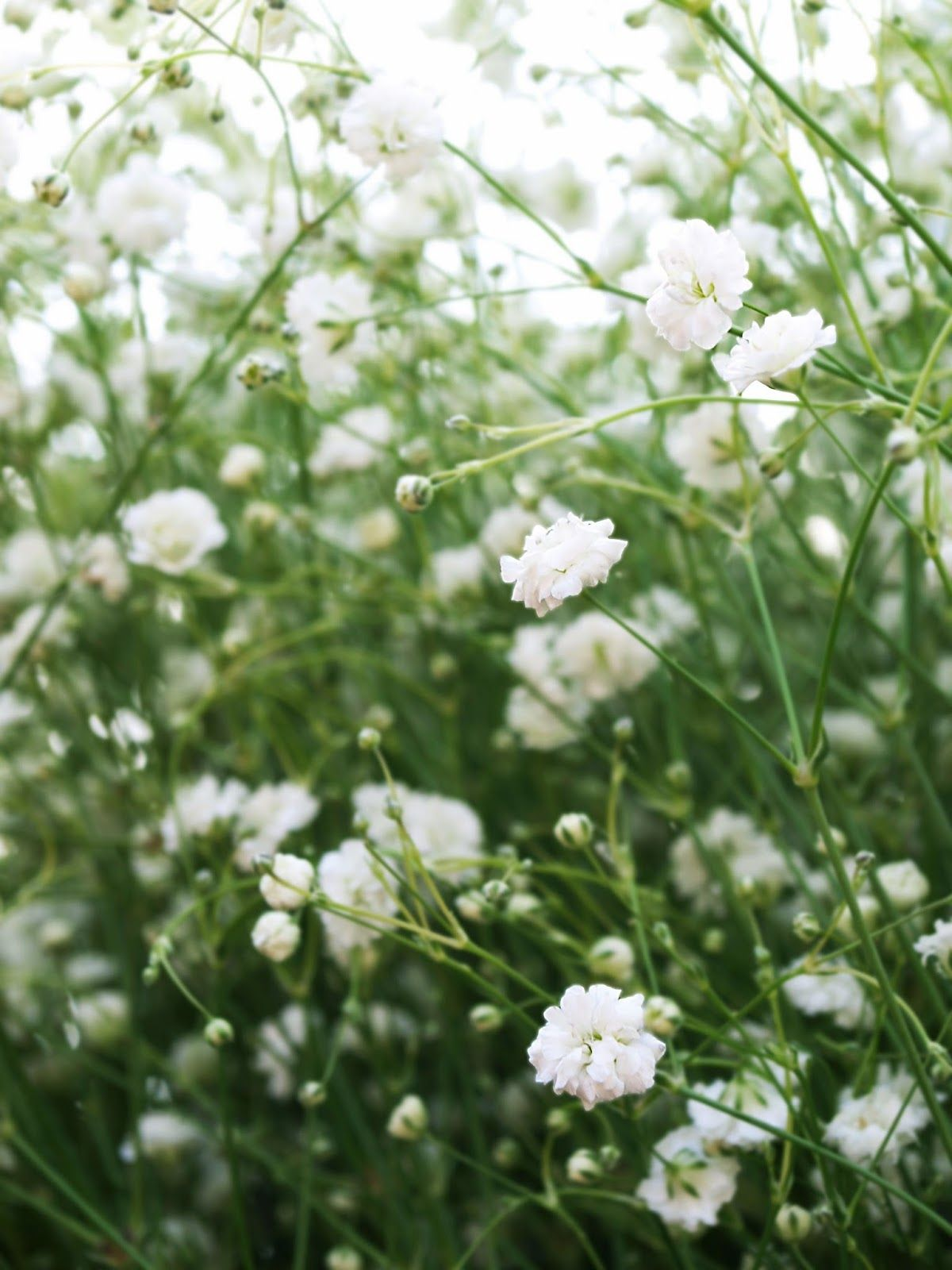 This Is Babys Breath It Has Many Beautiful Tiny White Rose Like