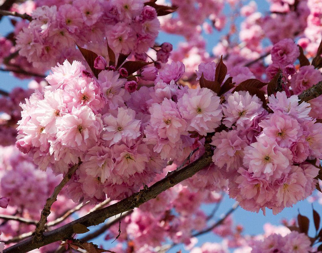 kwanzan flowering cherry tree yard pinterest cherry. Black Bedroom Furniture Sets. Home Design Ideas
