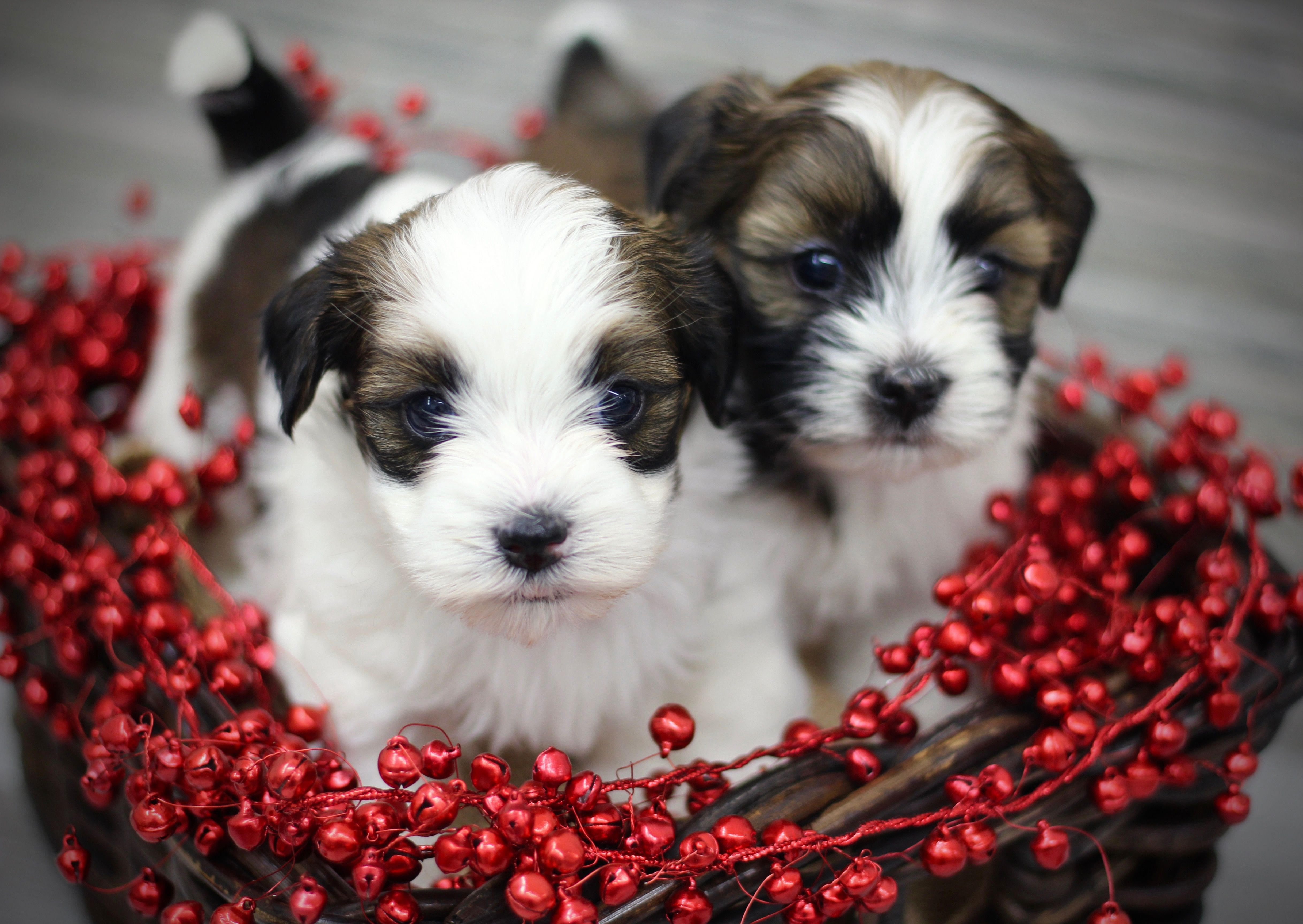Our little Christmas puppies! www.babybarks.ca Puppies