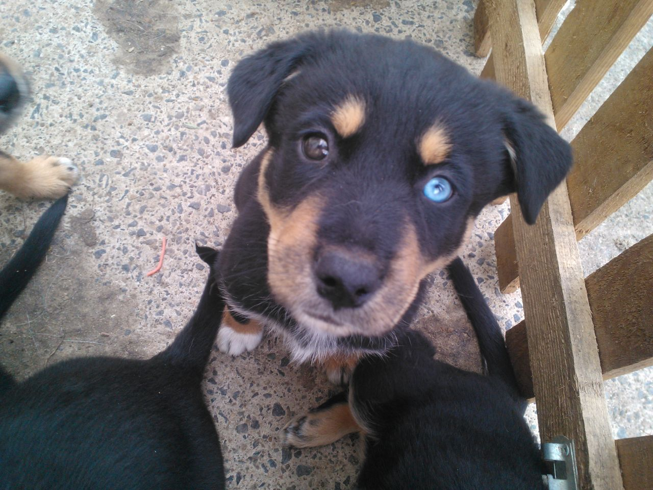 Husky Rottweiler Cross Puppies Puppies Rottweiler Husky Mix