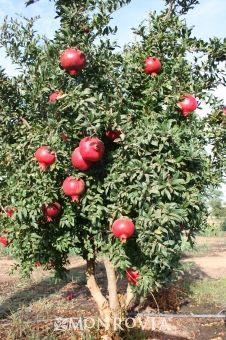 Angel Red Pomegranate Fruit Tree Garden Growing Fruit Trees Fruit Garden