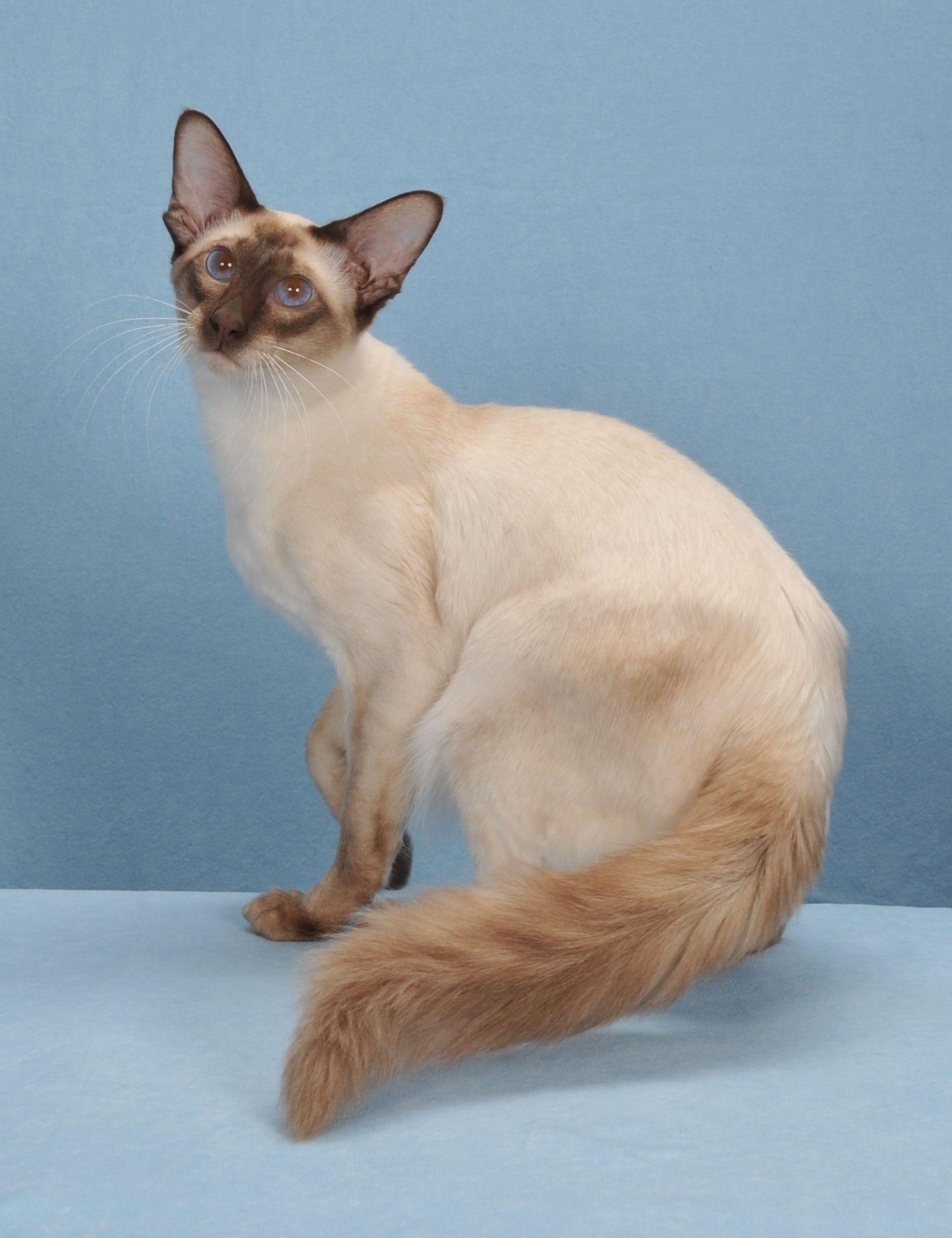 Balinese Balinese cat, Cat breeds