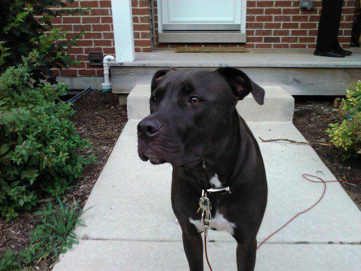 Are American Staffordshire Terrier Lab Mixes Good Pets American Staffordshire Terrier Labrador Retriever Pitbull Terrier