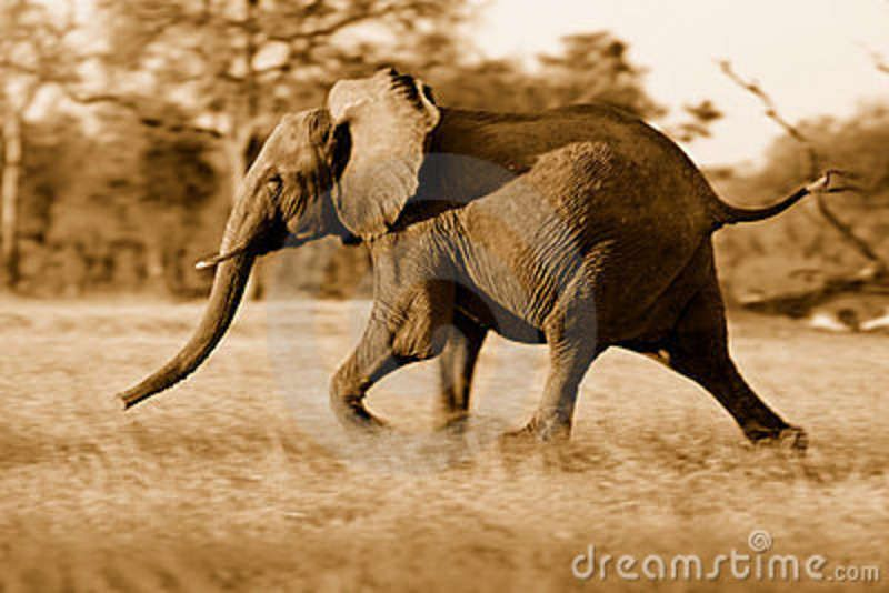 Download Young Elephant Running Away Royalty Free Stock Photo - Image: 16537615