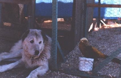 Training Anatolian Shepherd Dogs for Poultry Guarding