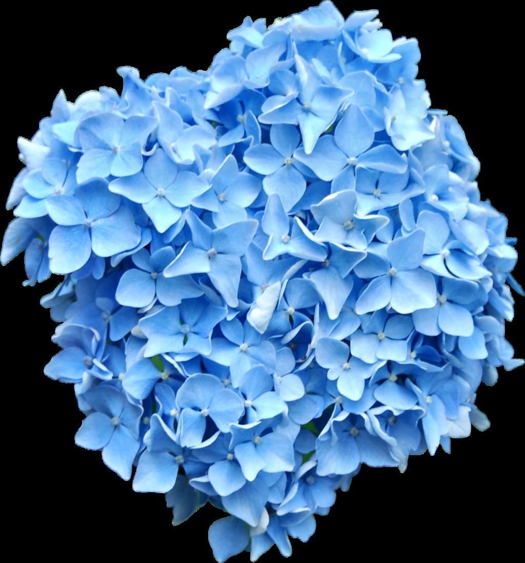 Blue Hydrangea Png Blue Hydrangea Hydrangea Hydrangea Flower