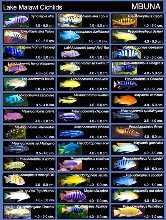 Mbuna Cichlid Poster Malawi Cichlids Tropical Freshwater Fish African Cichlid Aquarium