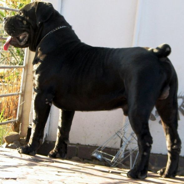 In 1983 At The Founding Of The Sabt The Black Boerboel Was Not