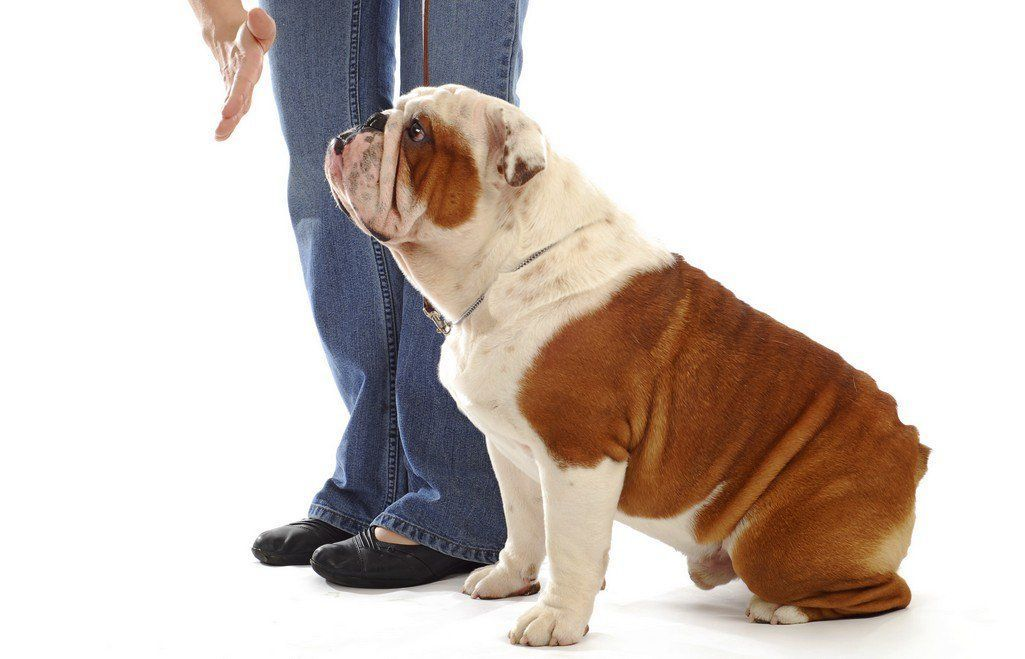 Owner S Side And Dog S Side Of Training English Bulldogs Bulldog