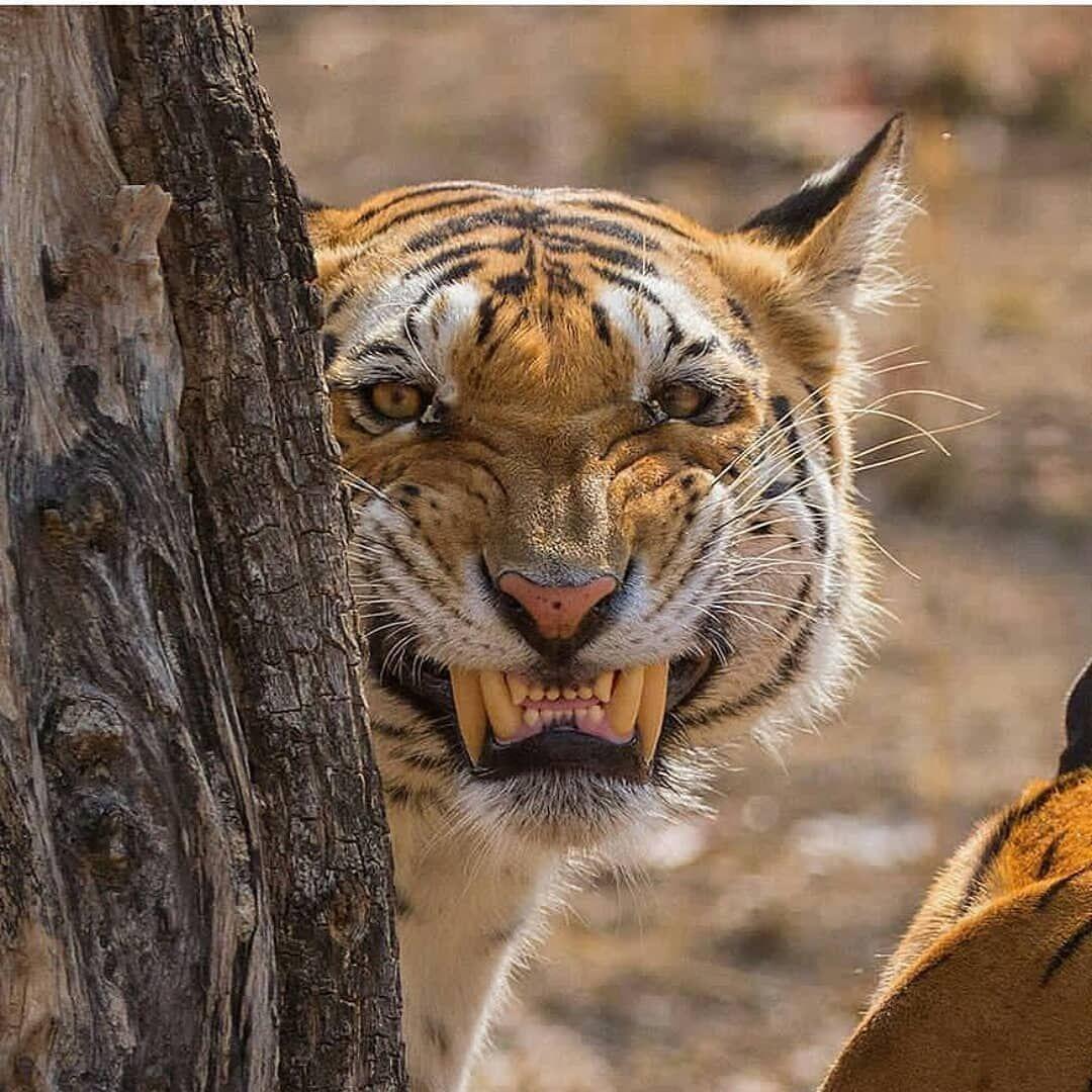 собрала веселый тигр фото чем обклеить