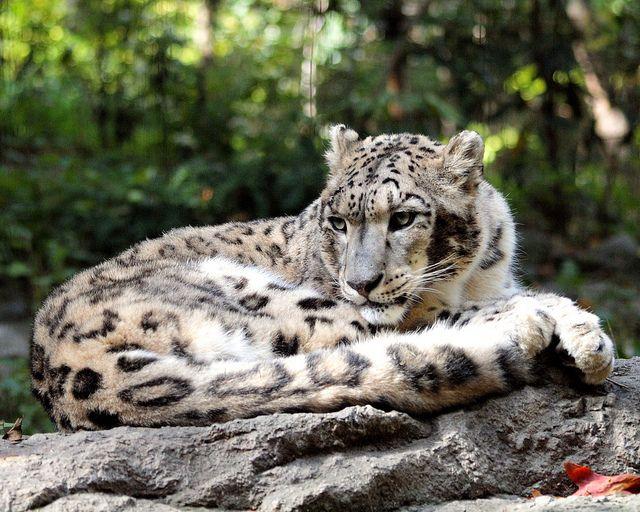 The Wild Zoo New York   Snow Leopard, Bronx Zoo, New York City   Flickr - Photo Sharing!