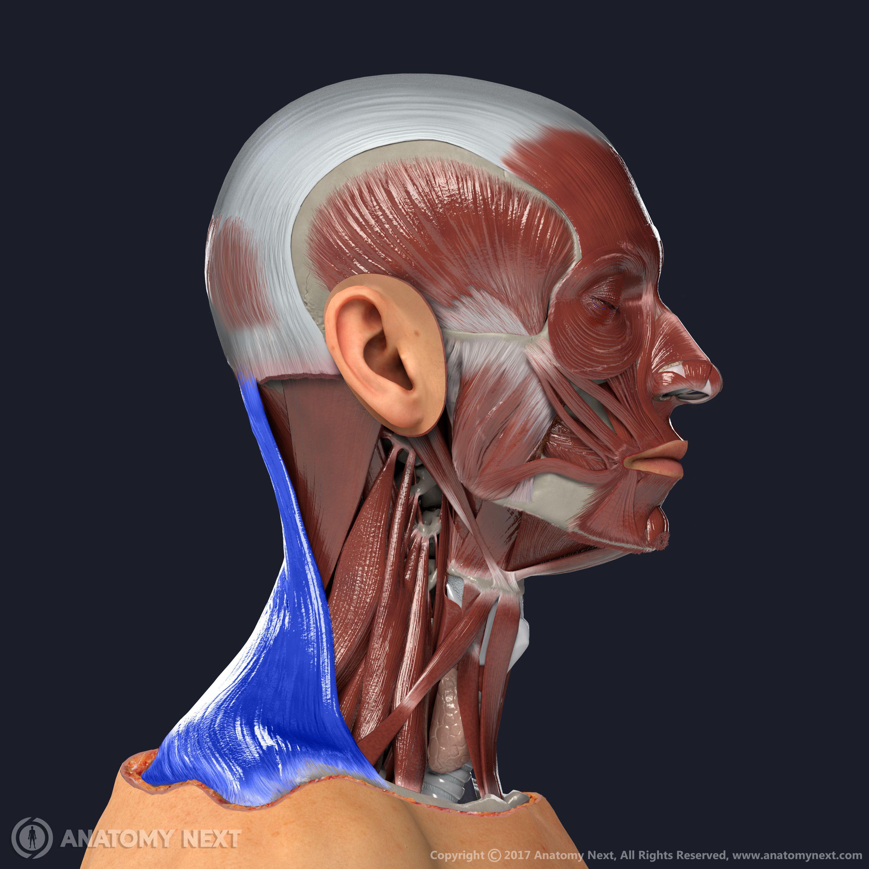 Trapezius Muscle Anatomy Anatomynext Medicine Student Art