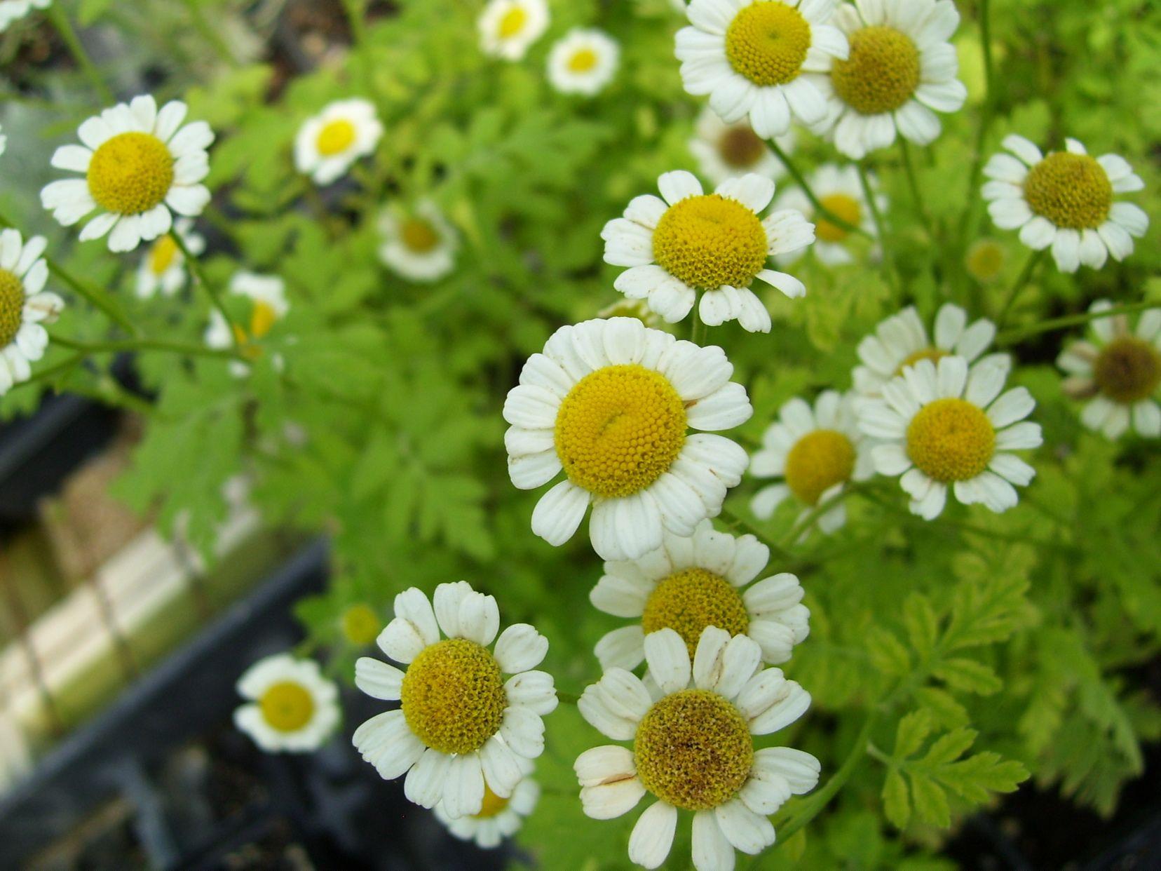 Feverfew Low Maintenance Flower Garden Low Maintenance Plants Landscaping Low Maintenance Landscaping