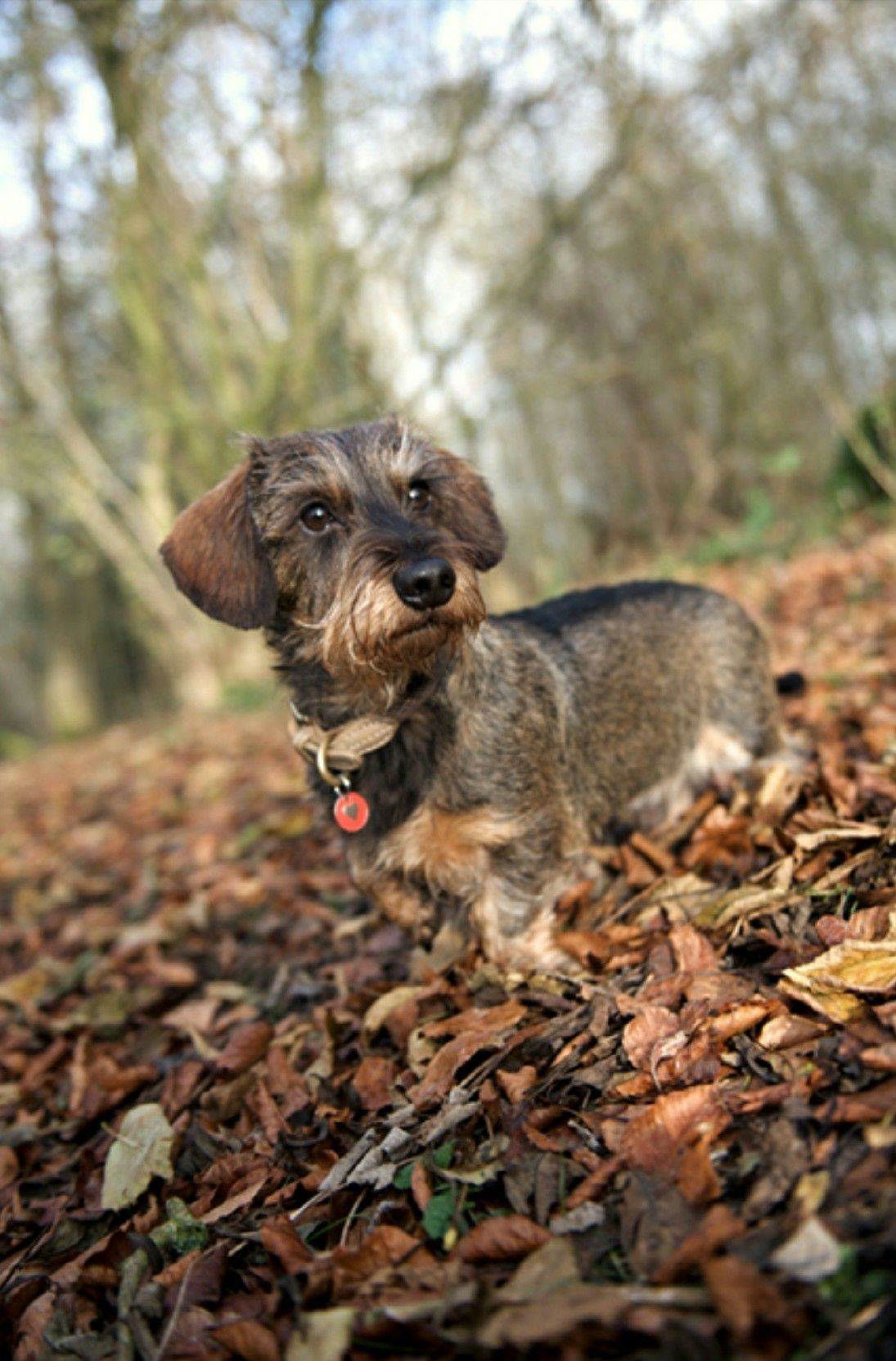 Dachshund Wirehaired A German Lady Once Told Me They Call This