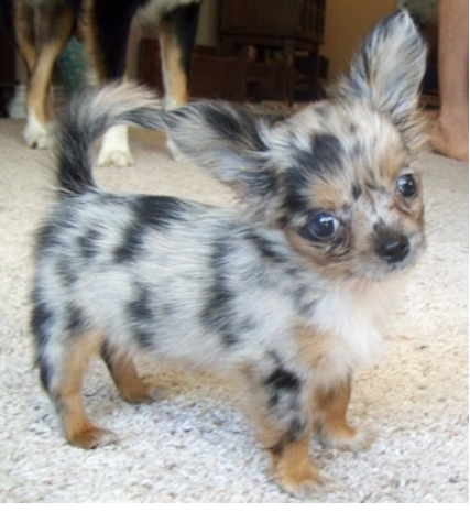 Long haired dapple chihuahua puppy   It shall be mine :D so flipping