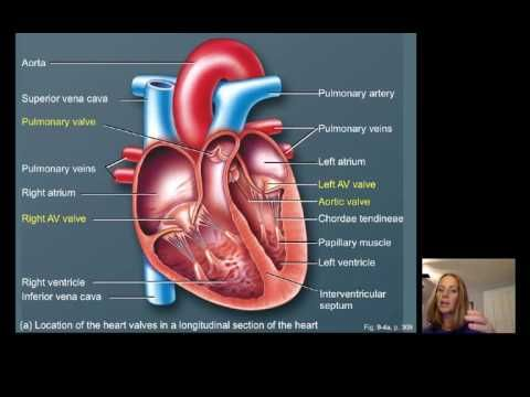 Lecture16 Cardiac Physiology Youtube Anatomay Pinterest Flow