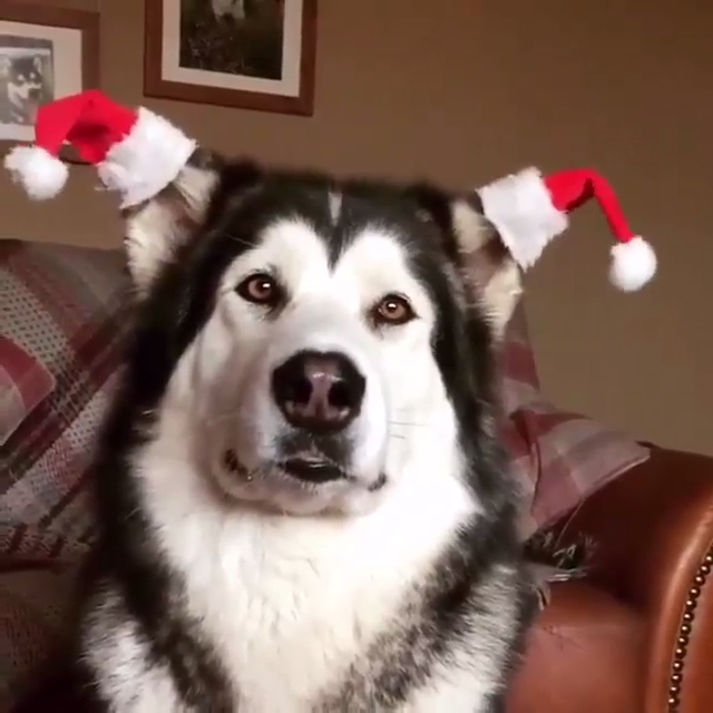 Never too early to decorate for Christmas! 💁♀️🎄 #dogs #dog #animals #animal #pets #adorable #pet