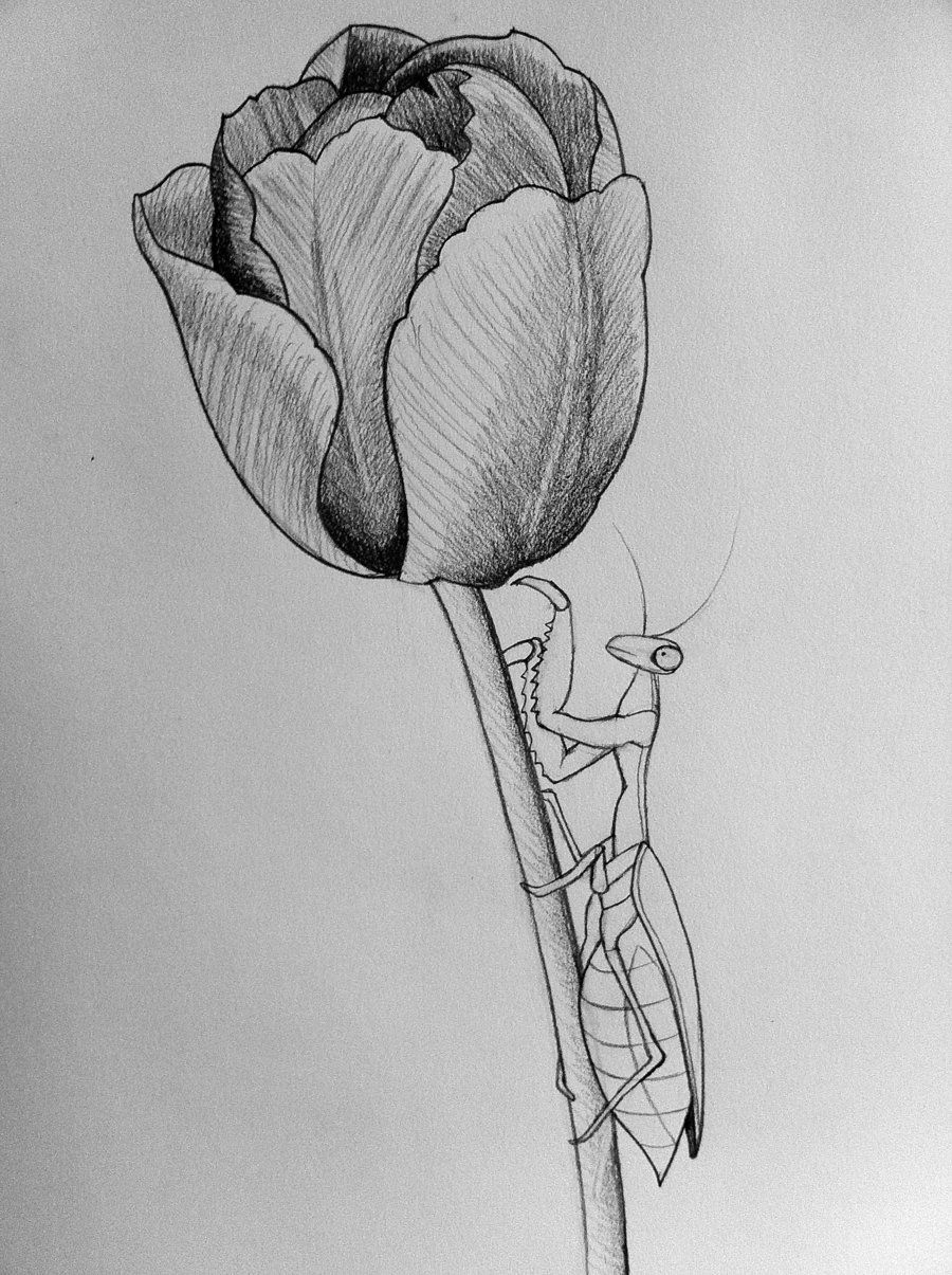 Mantis tulip line art by darcydoll on deviantart tulip drawing in