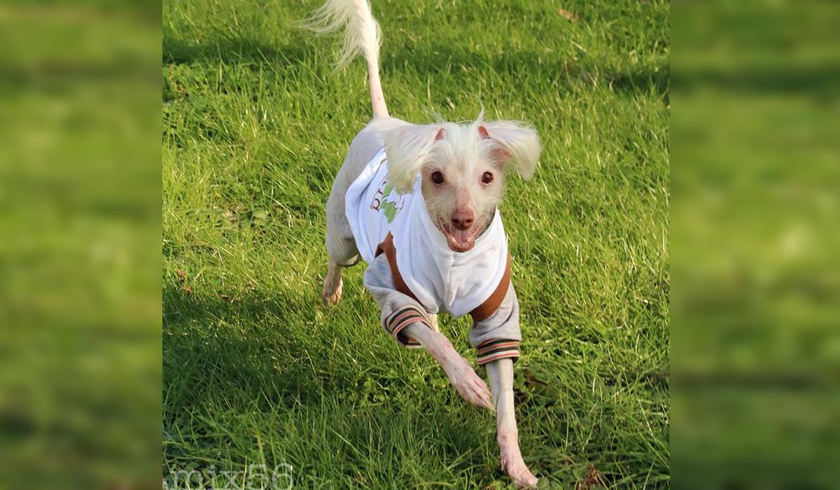 イヌ探訪 セクシーダンスを踊る犬 長い保護犬生活を経て幸せを掴んだ 裸のワンコ The Woof 毛のない犬 犬 イヌ