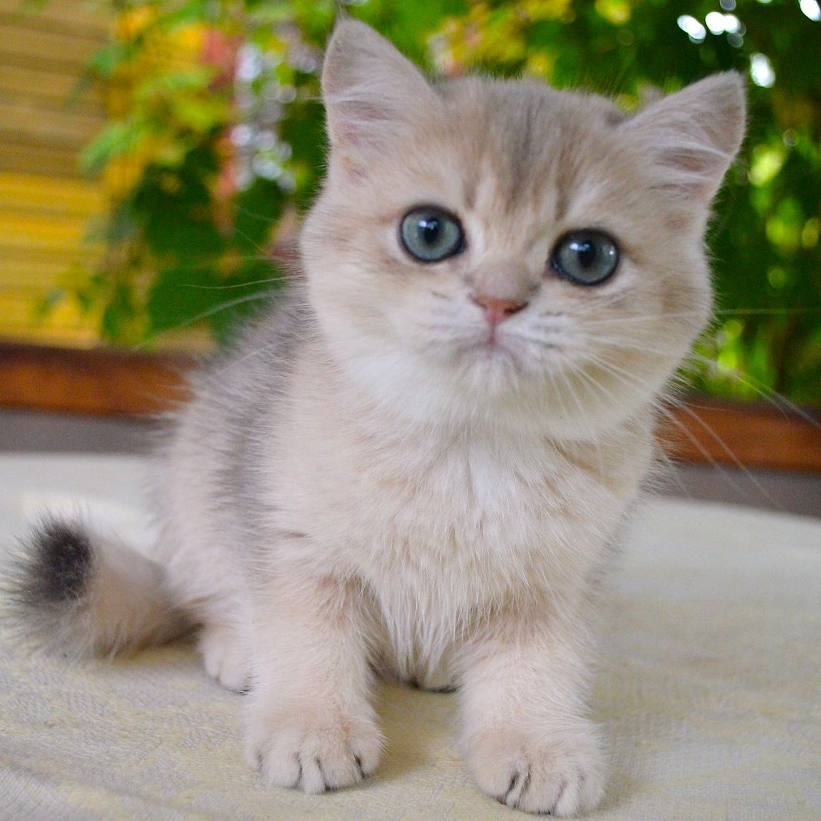 Fenickha British Shorthair British Shorthair Cats British