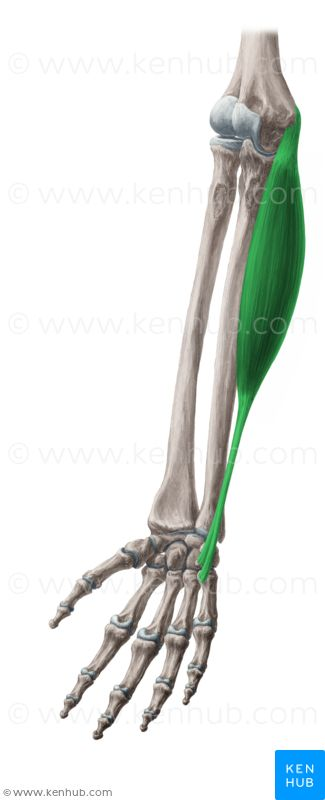 flexor carpi ulnaris medial epicondyle of humerus olecranon