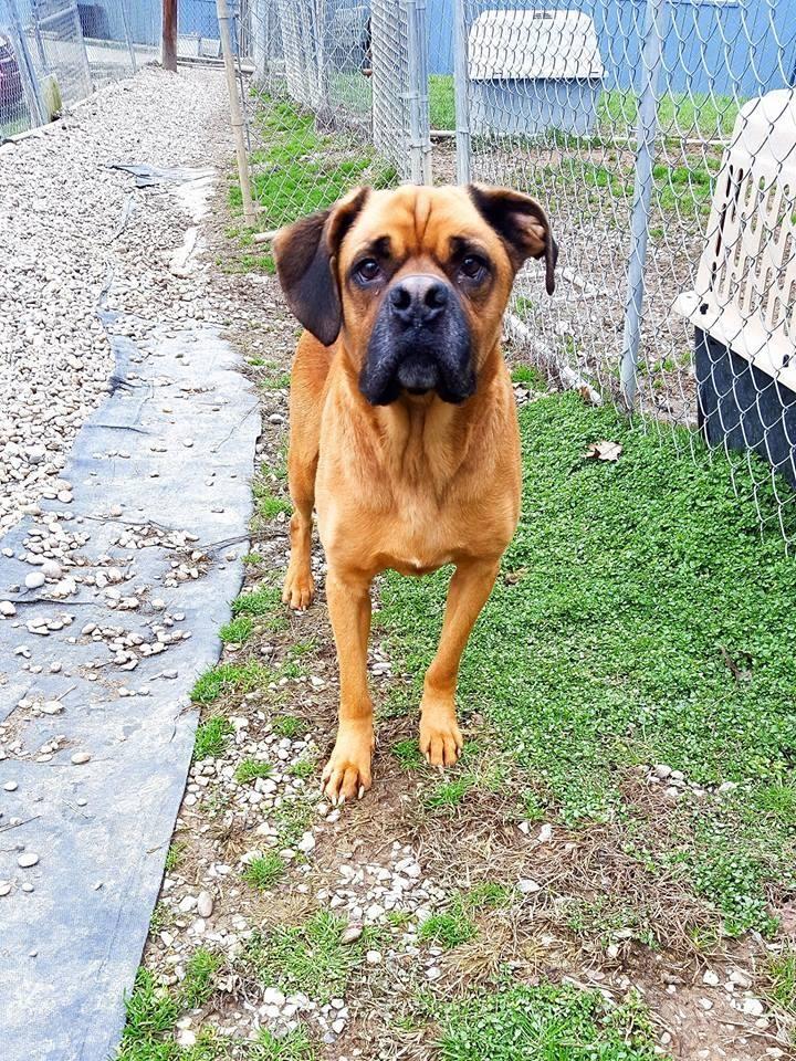 Adopt Tarzan on Petfinder Boxer dogs, Dog adoption, Tarzan