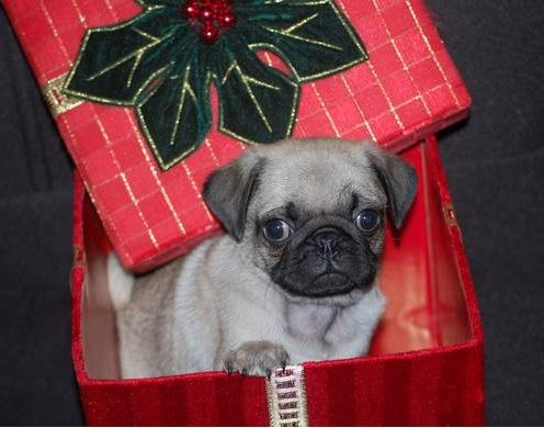 This Would Be The Greatest Christmas Present I Love Pugs Cute
