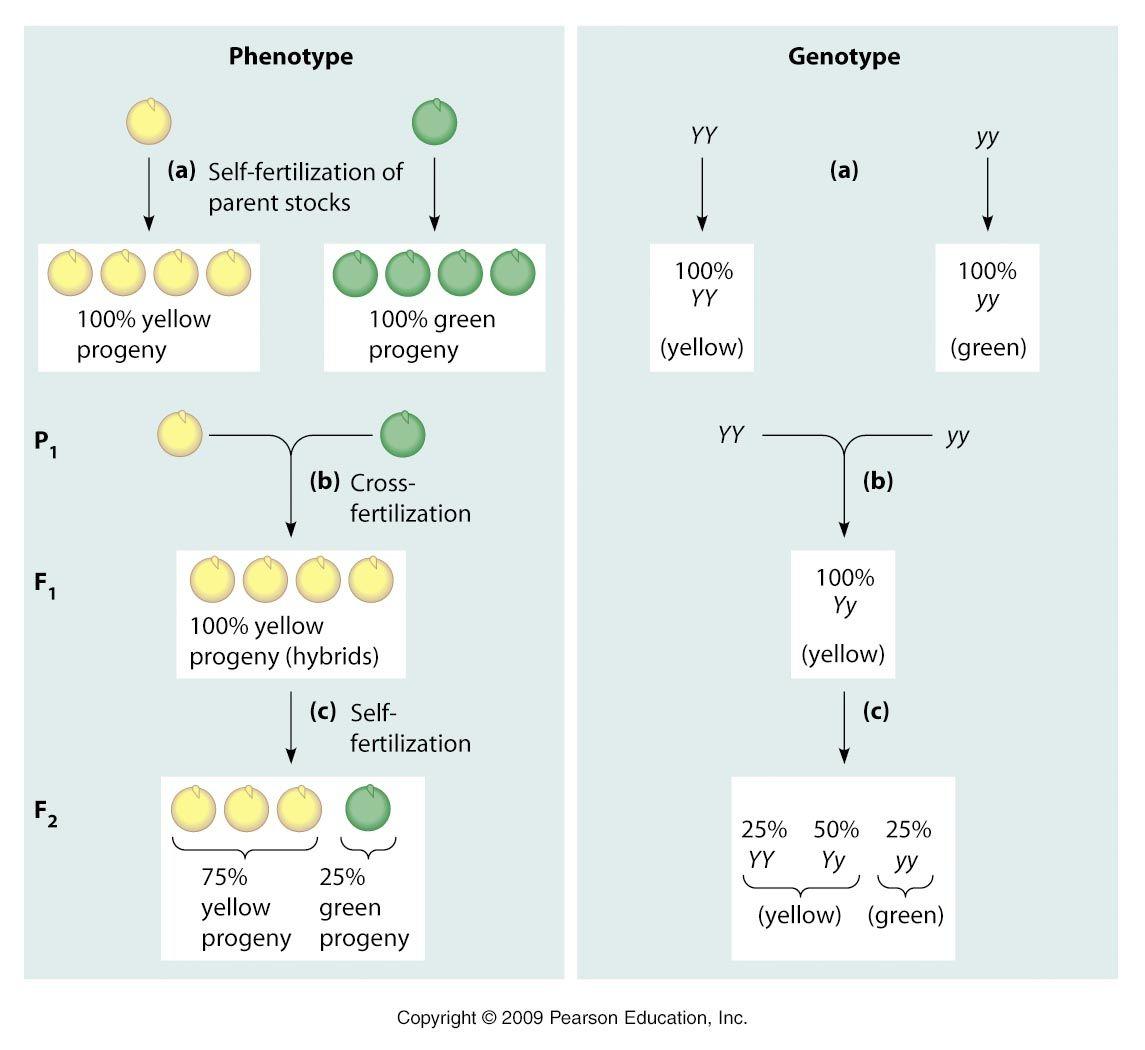 8 Gregor Mendel Experiment Biology Freshman Nature Wallpaper